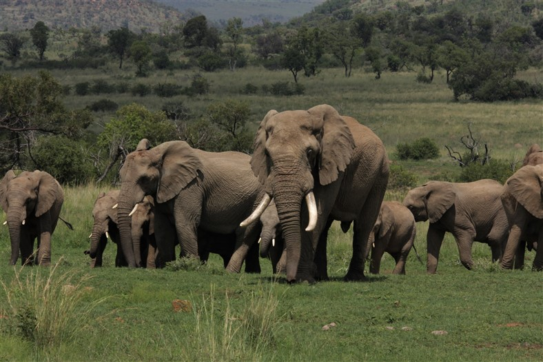Pilanesberg Elephants