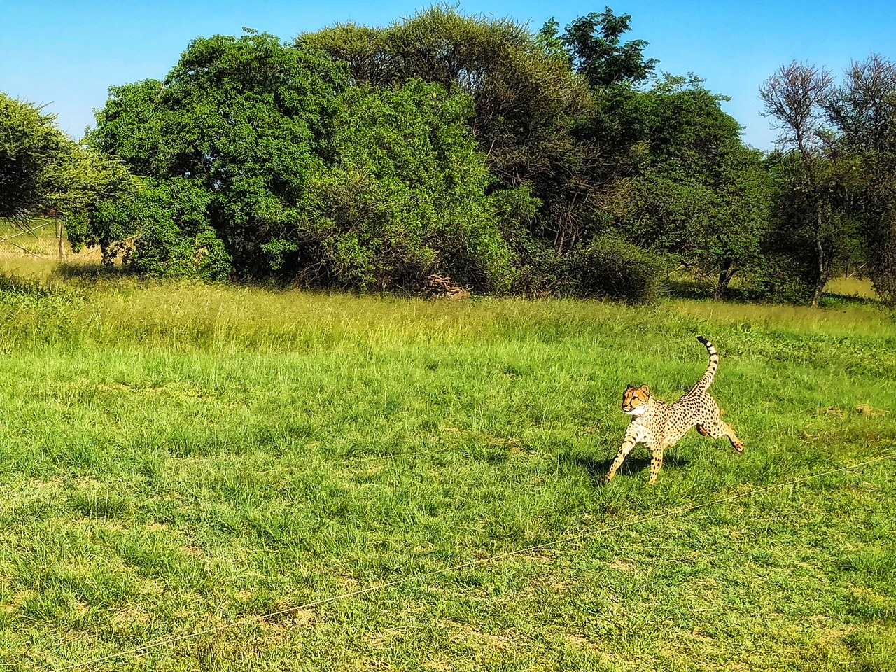 Ambassador Cheetah at The De Wildt. Amanzi Guests at the Cheetah and Wildlife Centre, also known as the Ann van Dyk Cheetah Centre