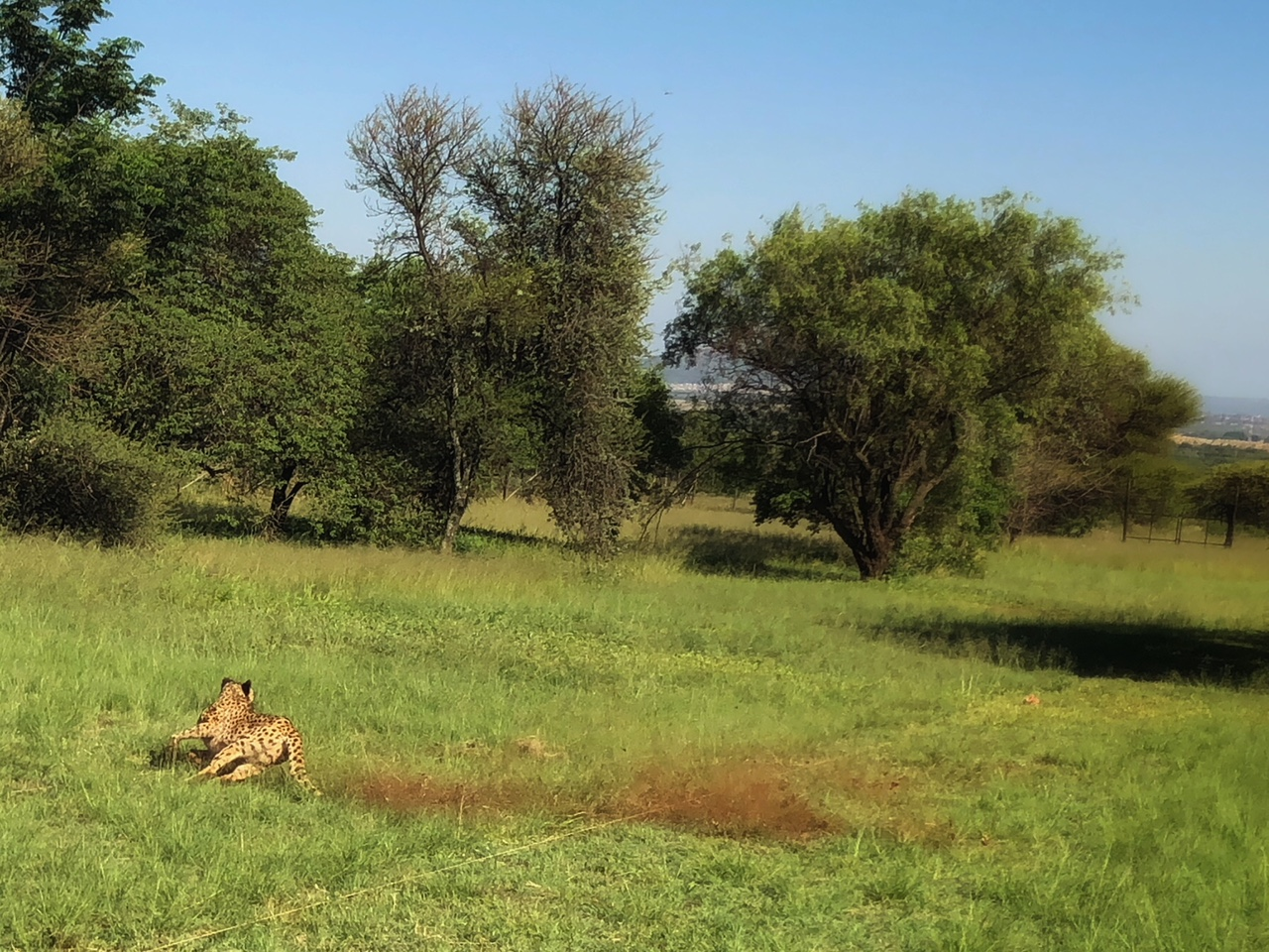 Cheetah sprinting at the De Wildt Cheetah Centre with Amanzi Guest House guests
