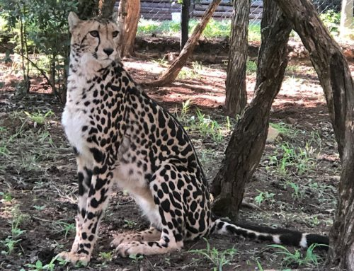 Ann van Dyk Cheetah Centre also known as The De Wildt Cheetah and Wildlife Centre