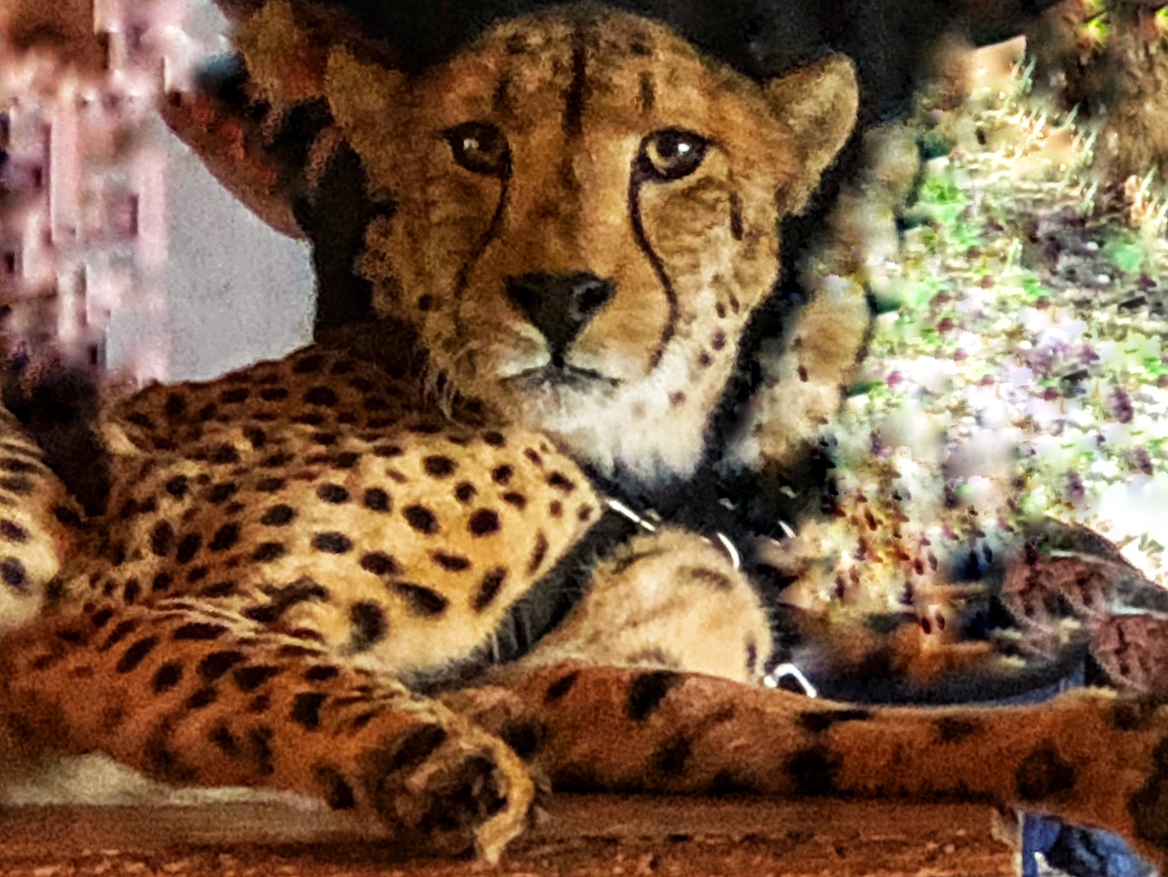 Yeats, the Ambassador Cheetah from the De Wildt Cheetah and Wildlife Centre, who goes to Schools to increase awareness of Cheetahs